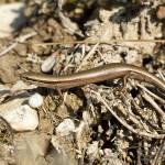 Ablepharus kitaibelii, Romania near Babadag in 14 march 2011