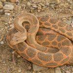 Spalerosophis dolichospilus, Morocco 15 km WSW of Nkob (Zagora Province) in 29 april 2016