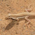 Acanthodactylus boskianus, Morocco near Akka (Tata Province) in 19 april 2016
