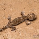 Stenodactylus mauritanicus, Morocco near Merzouga (Errachidia Province) in 29 april 2016
