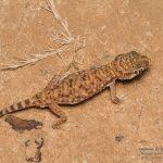 Stenodactylus petrii, Morocco near Merzouga (Errachidia Province) in 29 april 2016