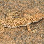 Acanthodactylus dumerilii, Morocco near Merzouga (Errachidia Province) in 30 april 2016