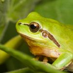 Hyla meridionalis, Morocco in Dades Gorges  (Tinghir Province) in 5 may 2016