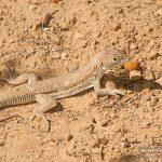 Acanthodactylus boskianus, Morocco near Akka (Tata Province) in 20 april 2016
