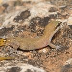 Saurodactylus brosseti, Morocco near Sidi Kaouki (Essaouira Province) in 13 april 2016