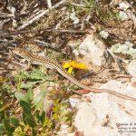 Acanthodactylus erythrurus, Morocco near Sidi Kaouki (Essaouira Province) in 14 april 2016
