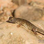 Uromastyx nigriventris, Morocco 15 km SE of Foum Zguid (Tata Province) in 24 april 2016