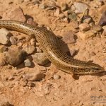 Chalcides ocellatus, Morocco 15 km SE of Foum Zguid (Tata Province) in 24 april 2016
