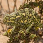 Chamaeleo chamaeleon, Morocco near Tifnit (south of Agadir) in 16 april 2016