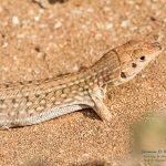 Acanthodactylus pardalis, Morocco near Laazib (south of Agadir) in 16 april 2016