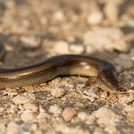 Chalcides sp., Morocco near Laazib (south of Agadir) in 16 april 2016