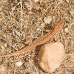 Acanthodactylus pardalis, Morocco near Laazib (south of Agadir) in 17 april 2016