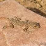 Ptyodactylus oudrii, Morocco 15 km WSW of Nkob (Zagora Province) in 28 april 2016