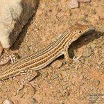 Acanthodactylus boskianus, Morocco 15 km WSW of Nkob (Zagora Province) in 28 april 201638_Ptyodactylus_oudrii