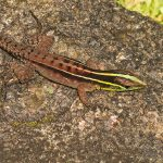 <i>Kentropyx calcarata</i>, French Guiana &#8211; 2016